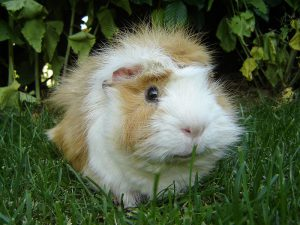 You have to admit it: this is one cute guinea pig!